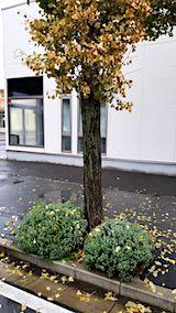 20181011歩道のラベンダーとイチョウの葉っぱ4