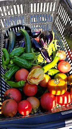 20181014今日収穫した野菜