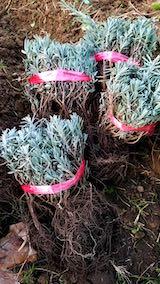 20181020ラベンダーの苗木の仮植えラベンダーこいむらさき1