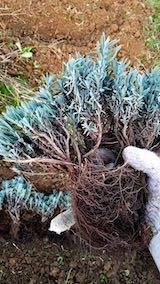 20181020ラベンダーの苗木の仮植えラベンダーこいむらさき2