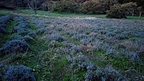 20181023一部草刈り草取り後のラベンダー畑の様子1