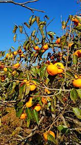 20181108柿の収穫1