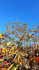 20181108柿の収穫2