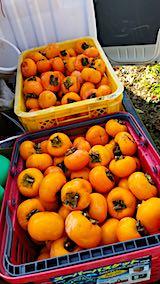 20181108柿の収穫3