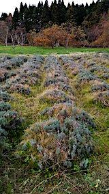 20181116ラベンダー畑の草刈り前の様子1