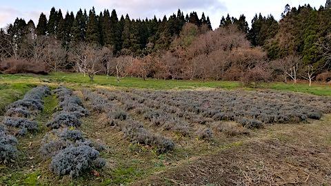 20181205ラベンダー畑の様子