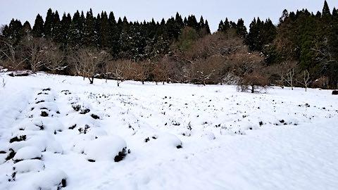 20181211雪で隠れてしまったラベンダー畑の様子2