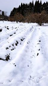 20181211ラベンダーの畑仮植えしたラベンダーの苗木が雪に