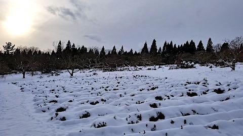 20181211雪で隠れてしまったラベンダー畑の様子3