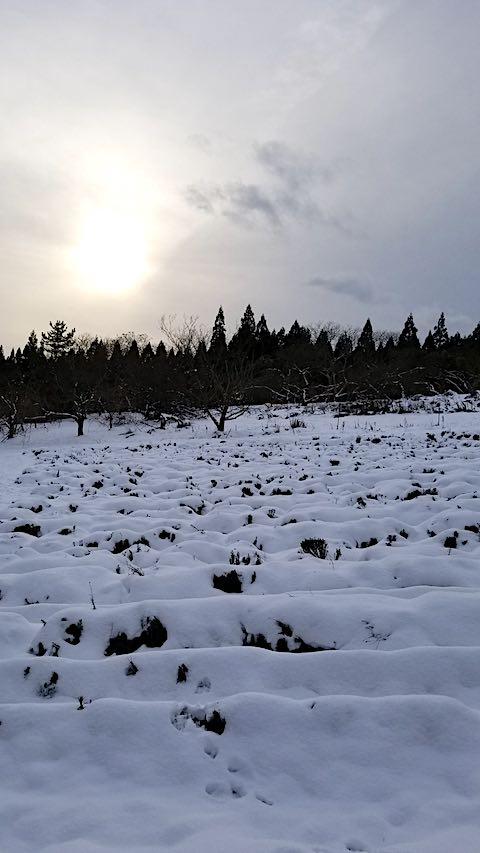 20181211雪で隠れてしまったラベンダー畑の様子4