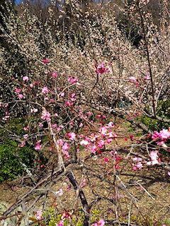 20190305神戸は春の花が咲き始める1