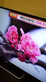 20190315NHKテレビ早咲きの梅が開花1