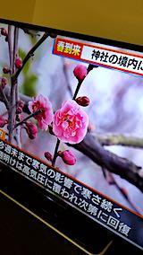 20190315NHKテレビ早咲きの梅が開花2