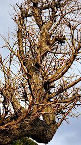 20190316速歩からの帰り道で望んだ梅の木