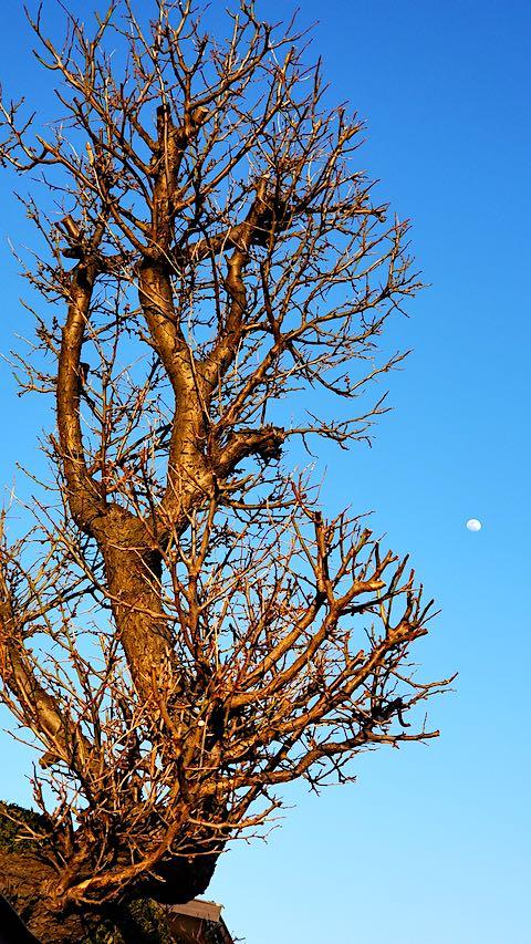 20190318速歩からの帰り道で望んだ梅の木とお月さま