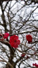 20190330山の様子花梅の花2