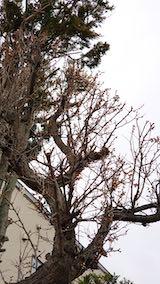 20190330速歩からの帰り道で望んだ梅の木