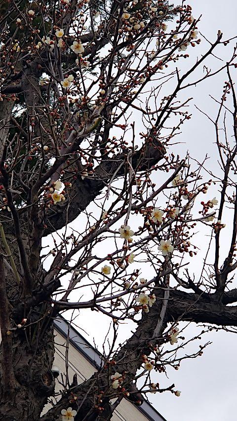 20190404速歩からの帰り道で望んだ梅の花