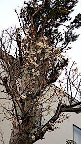 20190405速歩からの帰り道で望んだ梅の花