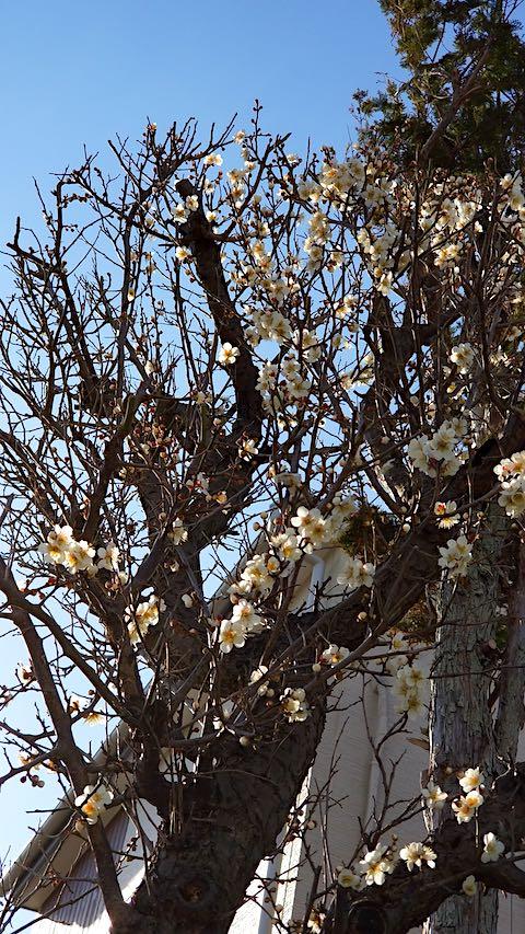 20190407速歩へ向かう途中で望んだ梅の花