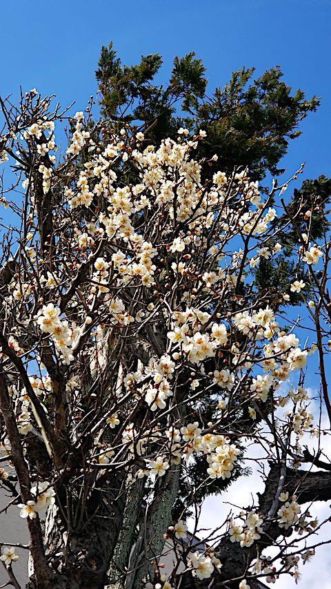 20190411速歩からの帰り道で望んだ梅の花