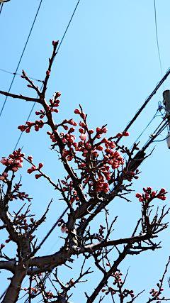 20190412速歩からの帰り道で望んだ梅の花2