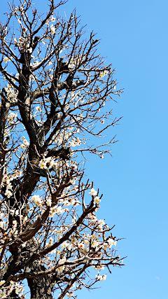20190412速歩からの帰り道で望んだ梅の花3