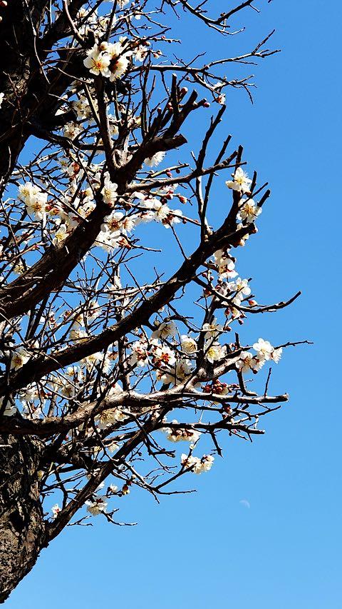 20190412速歩からの帰り道で望んだ梅の花と三日月さま