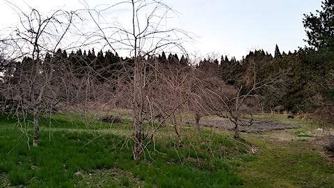 20190412八重紅枝垂れ桜のある斜面とラベンダーの畑