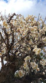 20190413速速歩からの帰り道で望んだ梅の花