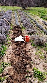 20190413仮植えラベンダーの掘り起こし作業途中1