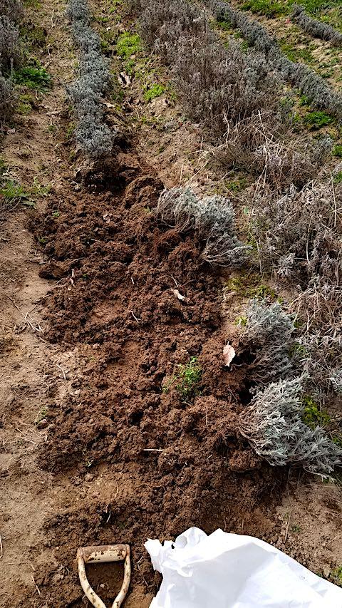 20190413仮植えラベンダーの掘り起こし作業途中4
