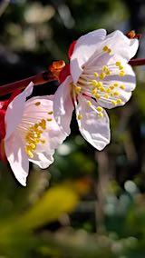 20190414梅の花の様子2