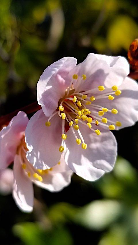 20190414梅の花の様子1