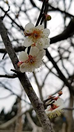 20190414山の様子梅の花1