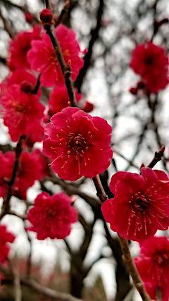 20190414山の様子梅の花2