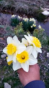 20190414山の入り口に咲くスイセンの花