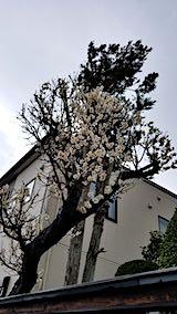 20190415速歩からの帰り道で望んだ梅の花