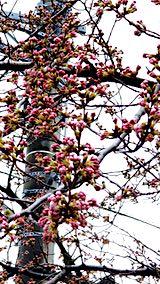 20190415外の様子昼前桜のつぼみ膨らむ