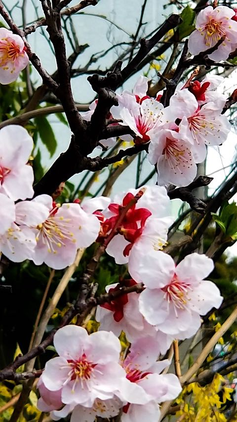 20190416外の様子昼前梅の花