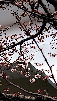 20190416秋田市桜が開花2