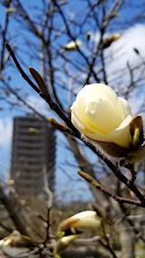 20190416速歩途中の公園の様子モクレンの花