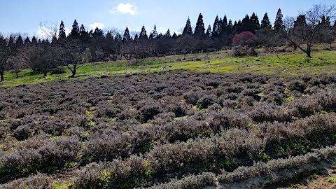 20190416ラベンダー畑の様子