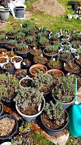 20190506山の様子鉢植えのラベンダー1
