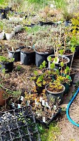 20190506山の様子鉢植えのラベンダー2