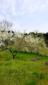 20190506山の様子花桃の白い花