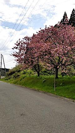 20190506山からの帰り道の様子八重桜