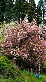 20190507山へ向かう途中の様子八重桜