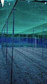 20190517野菜畑の屋根用ネット張り作業7