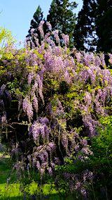 20190519山の様子藤の花